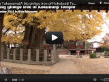 Hida Takayama Beautiful Ginkgo Tree at the KokubunjiTemple